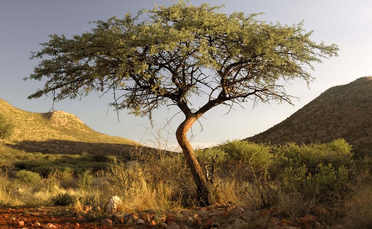 Aru Tree