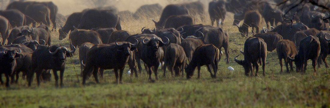 Big Game Hunting Buffalo At Aru