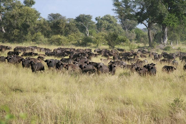Cape Buffalo Hunting At Aru Hunting Safaris