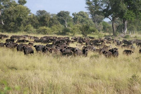 Cape Buffalo Hunting At Aru Hunting Safaris