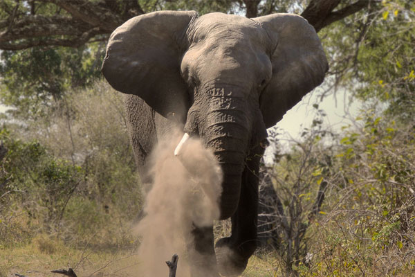 African Elephant Hunting at Aru
