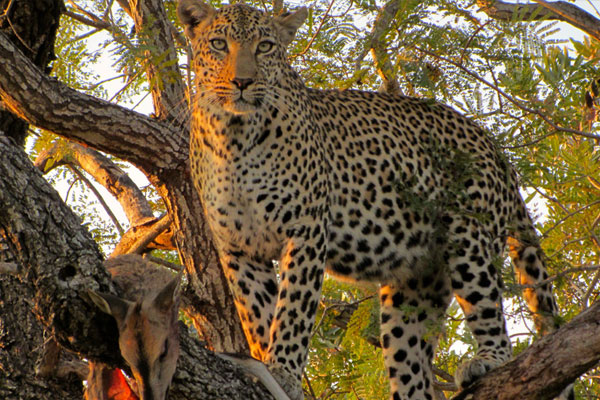 Leopard Hunting at Aru Hunting Safaris
