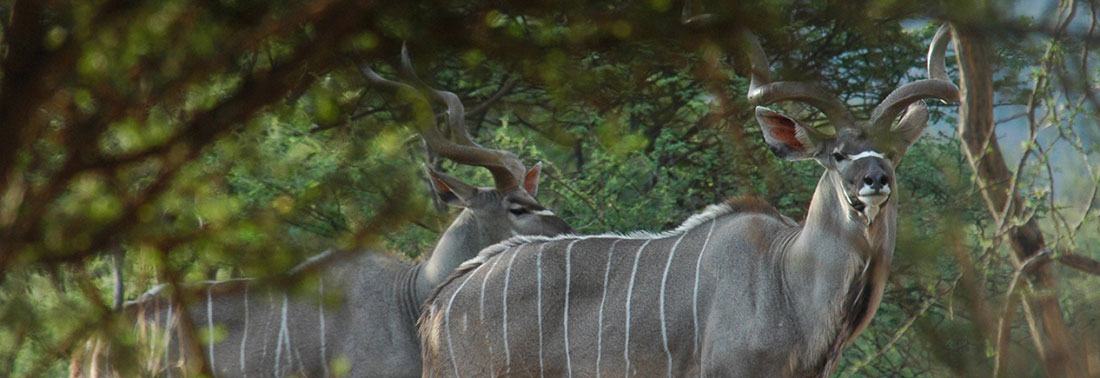 Kudu at Aru Hunting Safaris