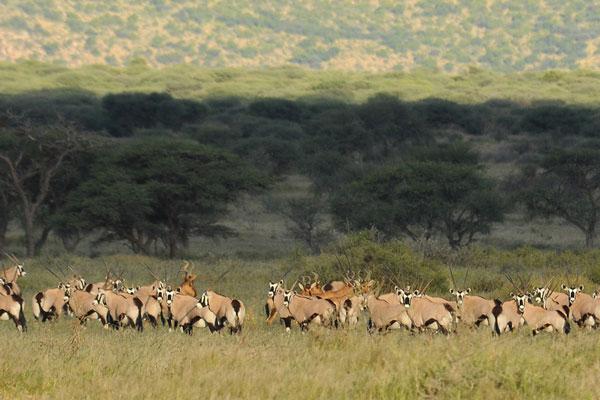 African Oryx at Aru Hunting Safaris