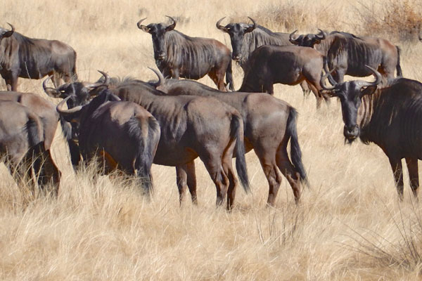 Hunting Blue Wildebeest at Aru Hunting Safaris