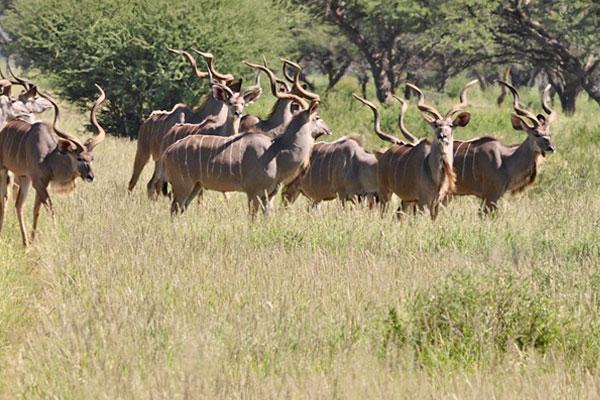 Hunting Kudu at Aru Hunting Safaris