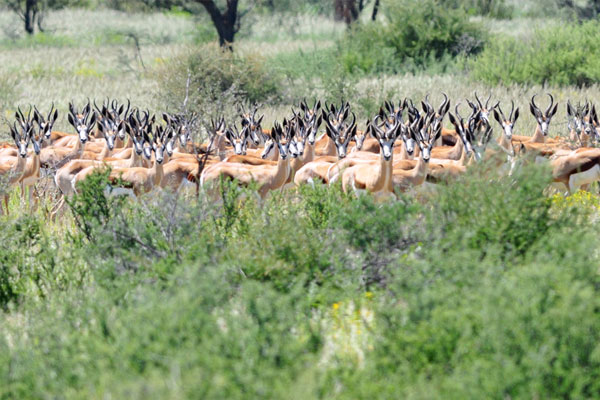 Springbok Culling at Aru Hunting Safaris