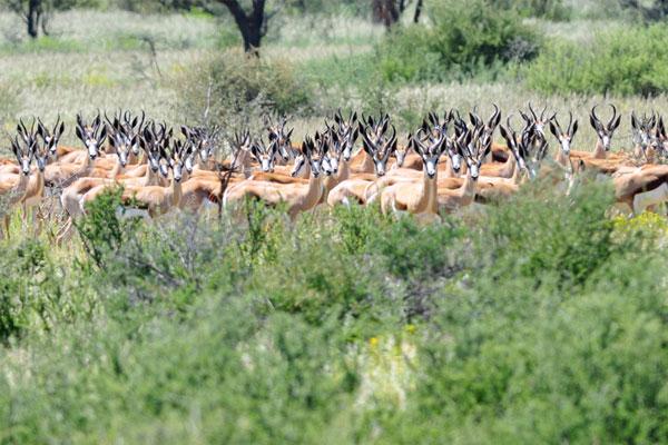 Springbok Culling at Aru Hunting Safaris