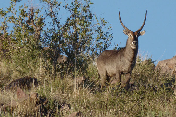 Waterbuck Hunting at Aru Hunting Safaris