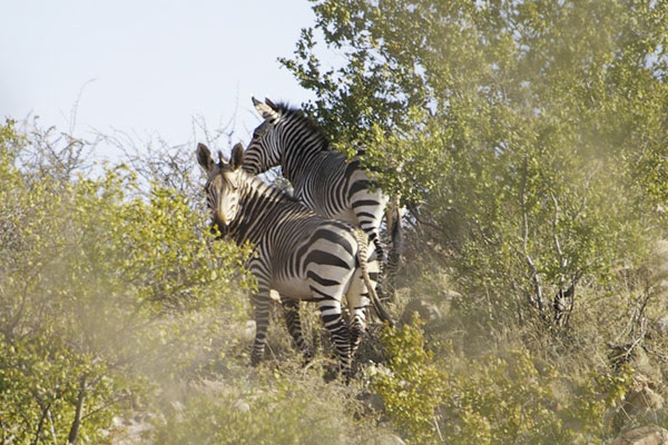 African Zebra at Aru Hunting Safaris