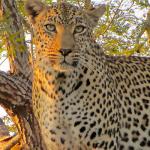 aru-leopard